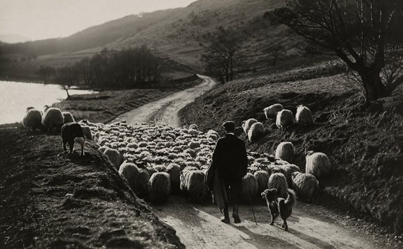 A man herds sheep with the